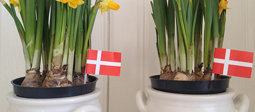 DanishFlags-Daffodils